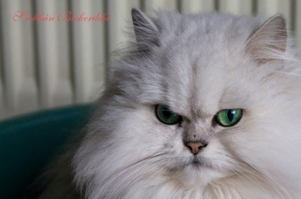 One of Brigid's prize-winning Persian cats ~ don't worry, she's not interested (or close to) Paulie!